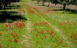 Незнакомый Израиль. Цветение, февраль. Даром адом (Красный юг)