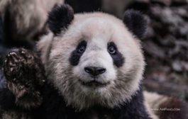 Заповедник изучения и разведения больших панд в Чэнду