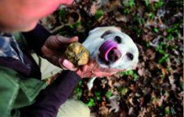 В Италии начинается знаменитая охота за белым трюфелем