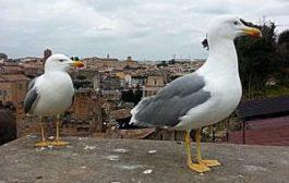 Вечный город атаковали вечно голодные чайки