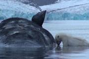 Мёртвые киты привлекут туристов на Шпицберген