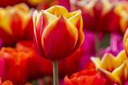 Сады тюльпанов откроются в Риме и Милане